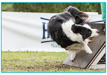 Border Collie playing flyball.