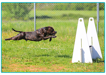 Staffordshire Bull Terrier type of breed playing flyball.
