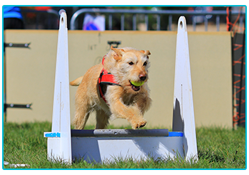 Terrier playing flyball.