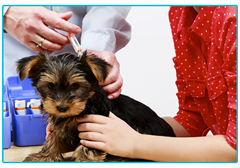 Vaccinating your pet - small puppy