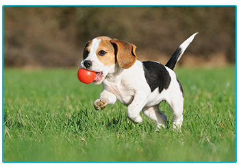 Vaccinating your pet - happy beagle puppy