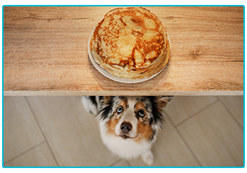 Obesity in pets - dog eyeing up pancakes