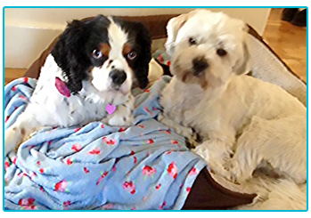 Lucie the Kind Charles Spaniel, and Benji, a Lhasa Apso Maltese cross in their dog bed.
