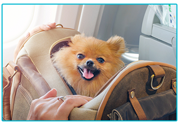 Travelling with dog - happy Pomeranian in bag