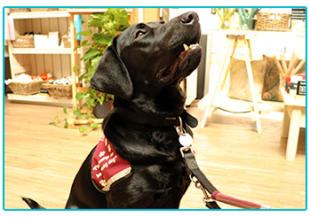 Checking in on Kai and Otis: our Sponsored Hearing Dogs Puppies! Kai looking up at owner.