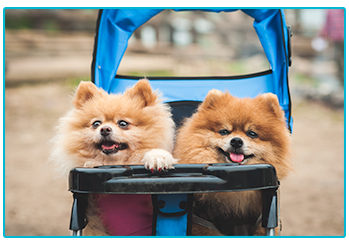 What type of dog owner are you? - two Pomeranians in a pushchair.