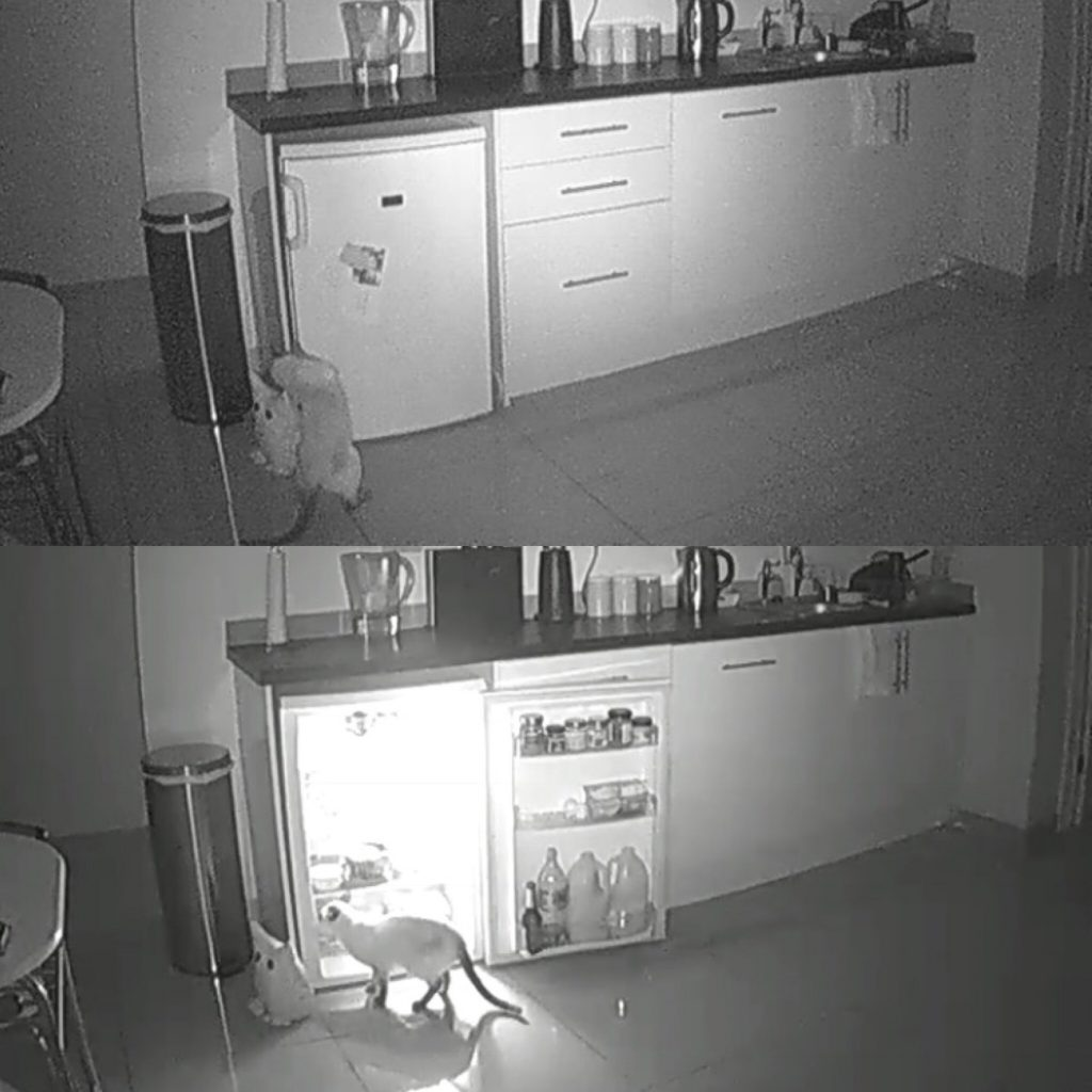 Cheeky pets winners! Siamese cat Lenny opening the kitchen fridge.