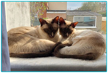 Cheeky pets winners - Siamese cats Omar and Lenny