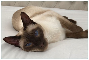 Cheeky Pets  - Siamese cats Omar and Lenny