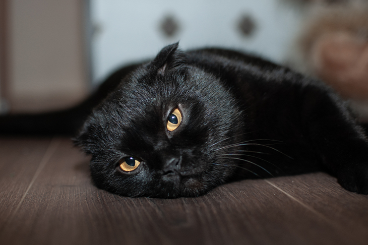 Reasons to adopt a black cat - black cat laying on floor