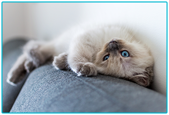 Living with a cat in an apartment - Ragdoll kitten