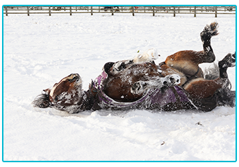 Is your horse ready for winter? Horse rolls around in the snow