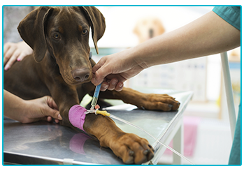 Things you pet insurance might not cover - dog receiving injection in leg