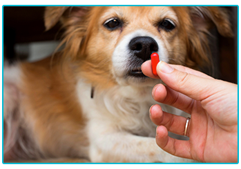How to give your pet medication - dog looks suspiciously at pill.