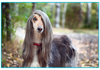 Which dog breed are you? Afghan Hound