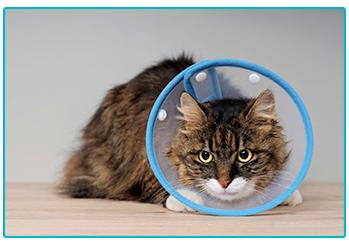 What to do if you need a vet in an emergency. Cat with cone.