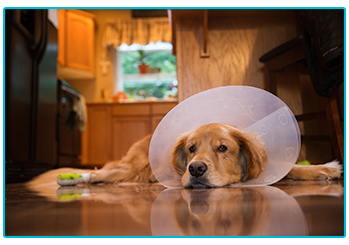 What to do if you need a vet in an emergency. Dog with cone.