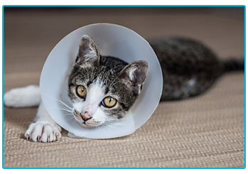 Urinary obstruction in cats and dogs. Cat with cone.