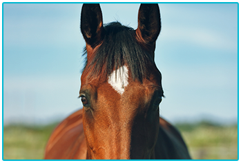 Equine Passports - head of chesnut horse