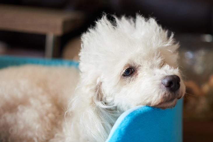 Common illnesses in dogs - sick poodle