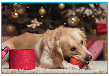 Great Christmas gifts for dogs - retriever plays with ball