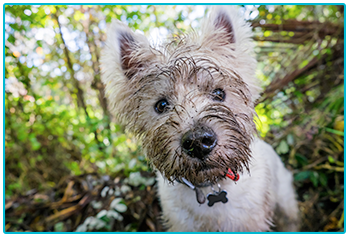 Alabama Rot - West Highland Terrier with a really muddy face