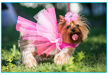 Is it okay to dress up my pet - Yorkshire Terrier in pink tutu.