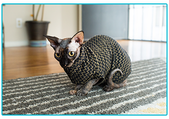 Is it okay to dress up my pet - Sphynx cat wears stripey jumper