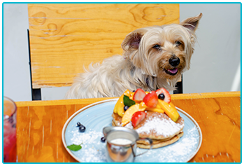 Is it safe for pets to eat pancakes? - Yorkshire Terrier feeling happy about plate of pancakes