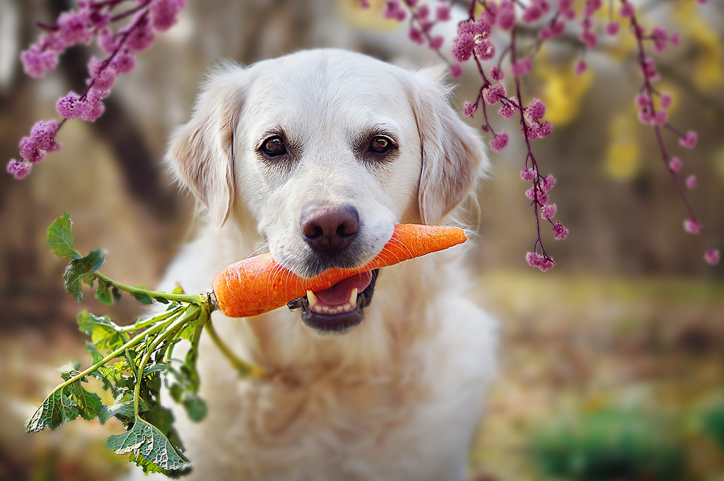 Alternative Pet Food - Retriever with carrot in mouth