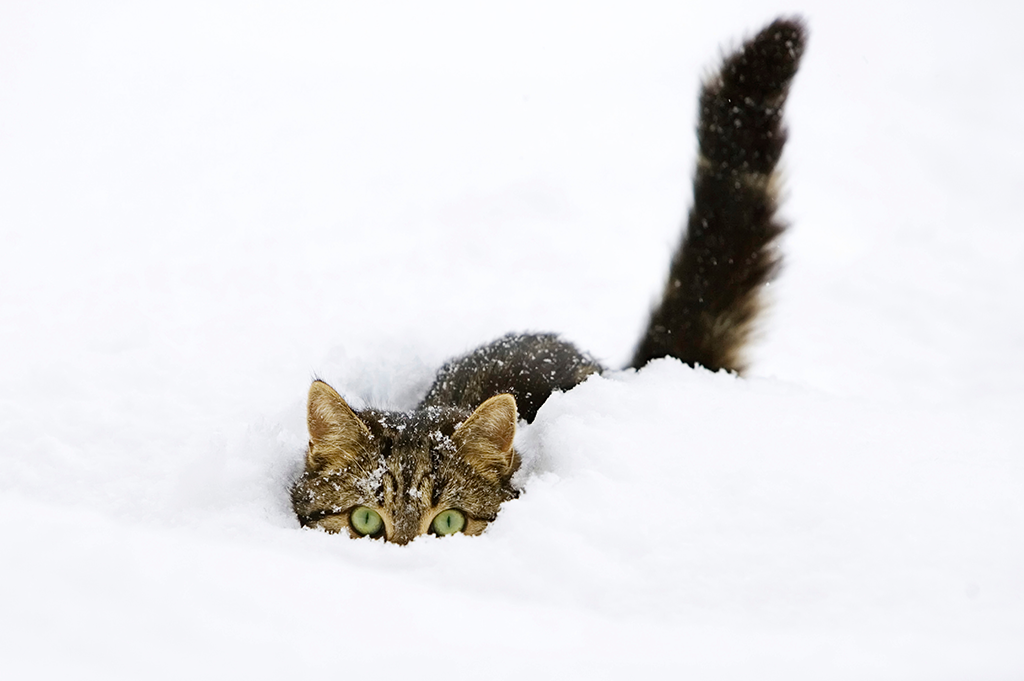 winter pet health cat hiding in snow