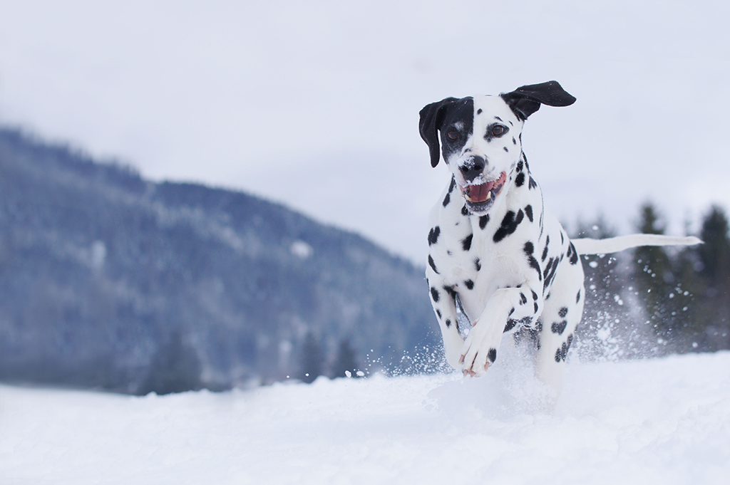 Dalmatian dog running in snow