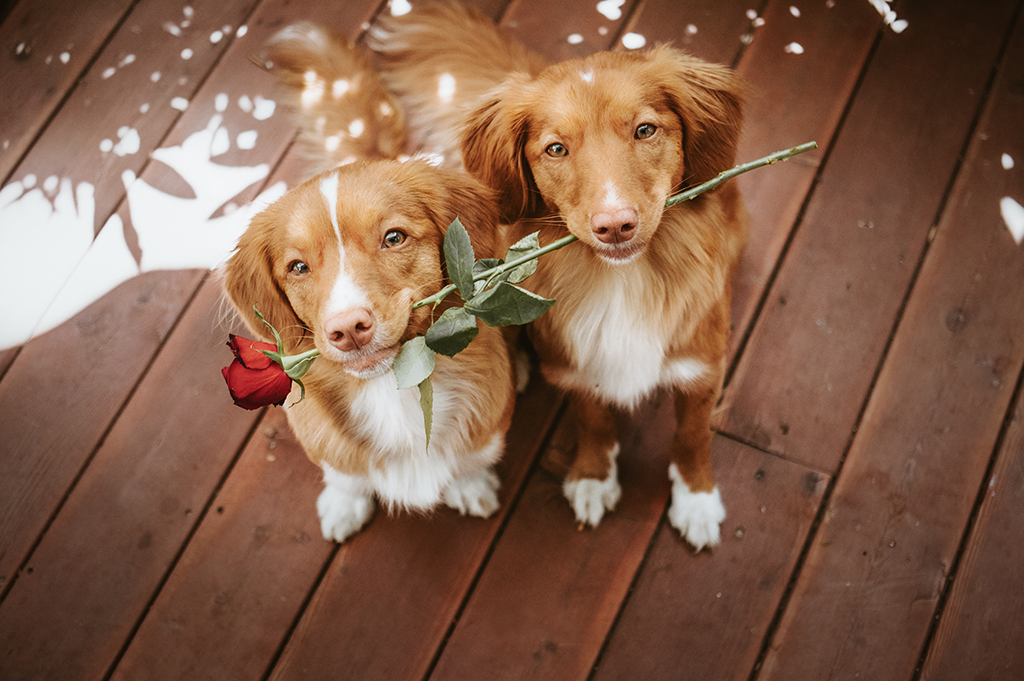 dogs with rose